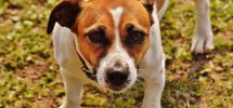 Terrier som ser mot kamera
