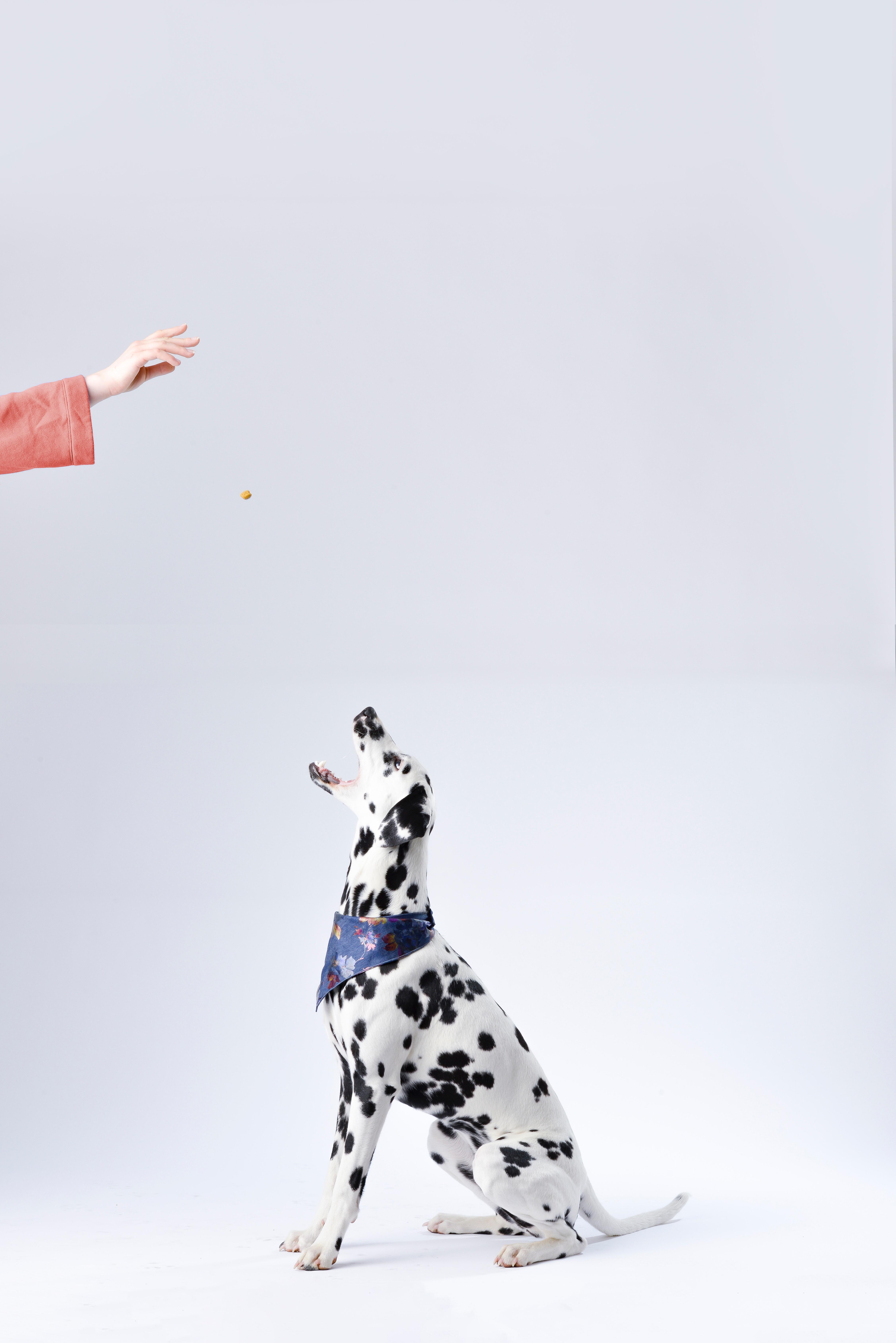 Hånd som mater en dalmatiner